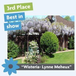 Best in show wisteria